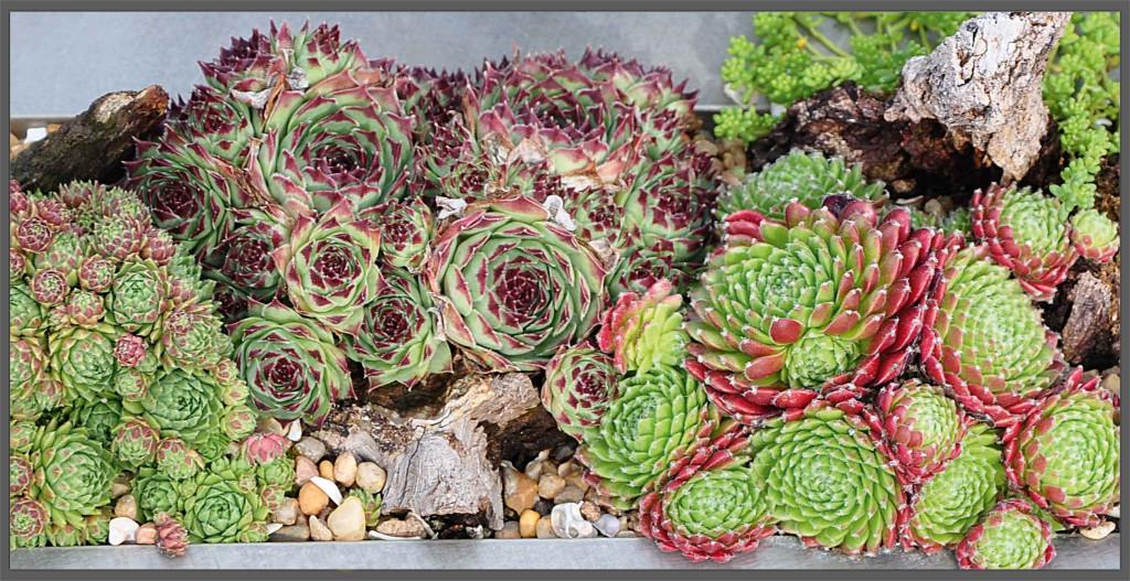 piante_grasse_resistenti_durature